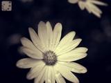 starlight flower