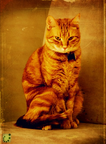 for.sale one orange cat
