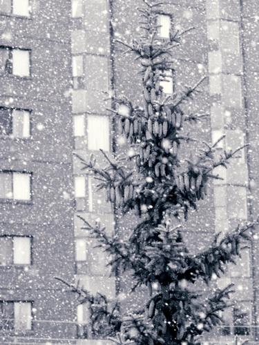the snow pine